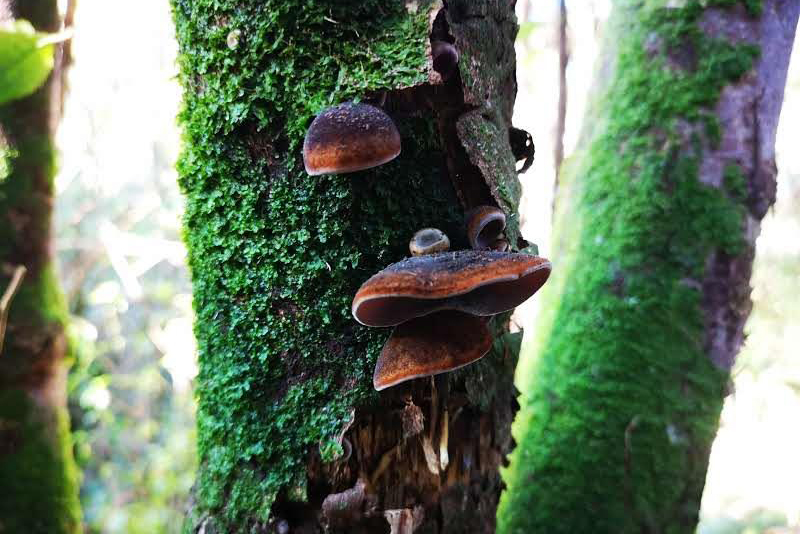 Ear fungus/ Auricularia cornea