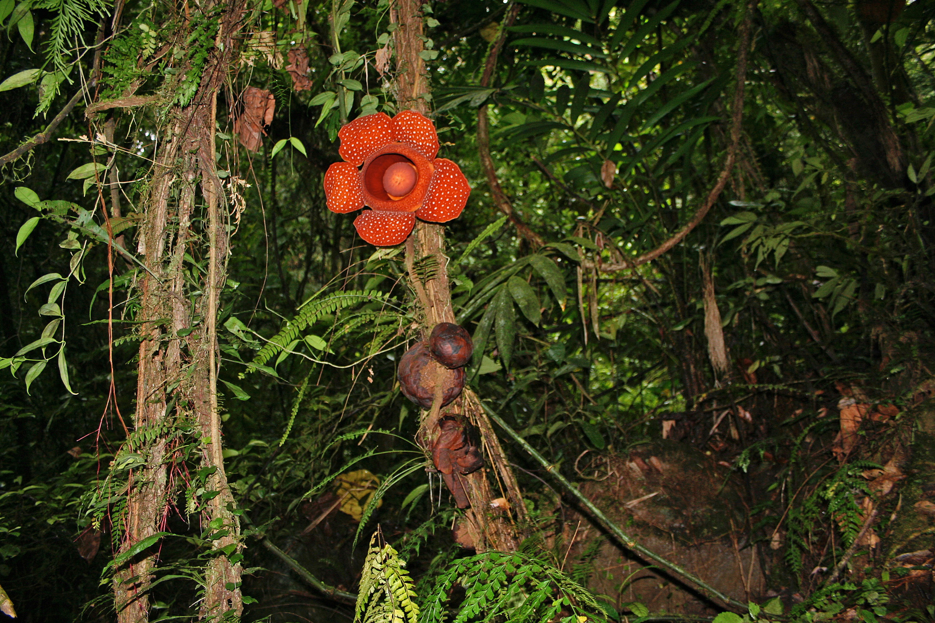 Flowers and flower buds of Rafflesia leonardi emerging from a host vine