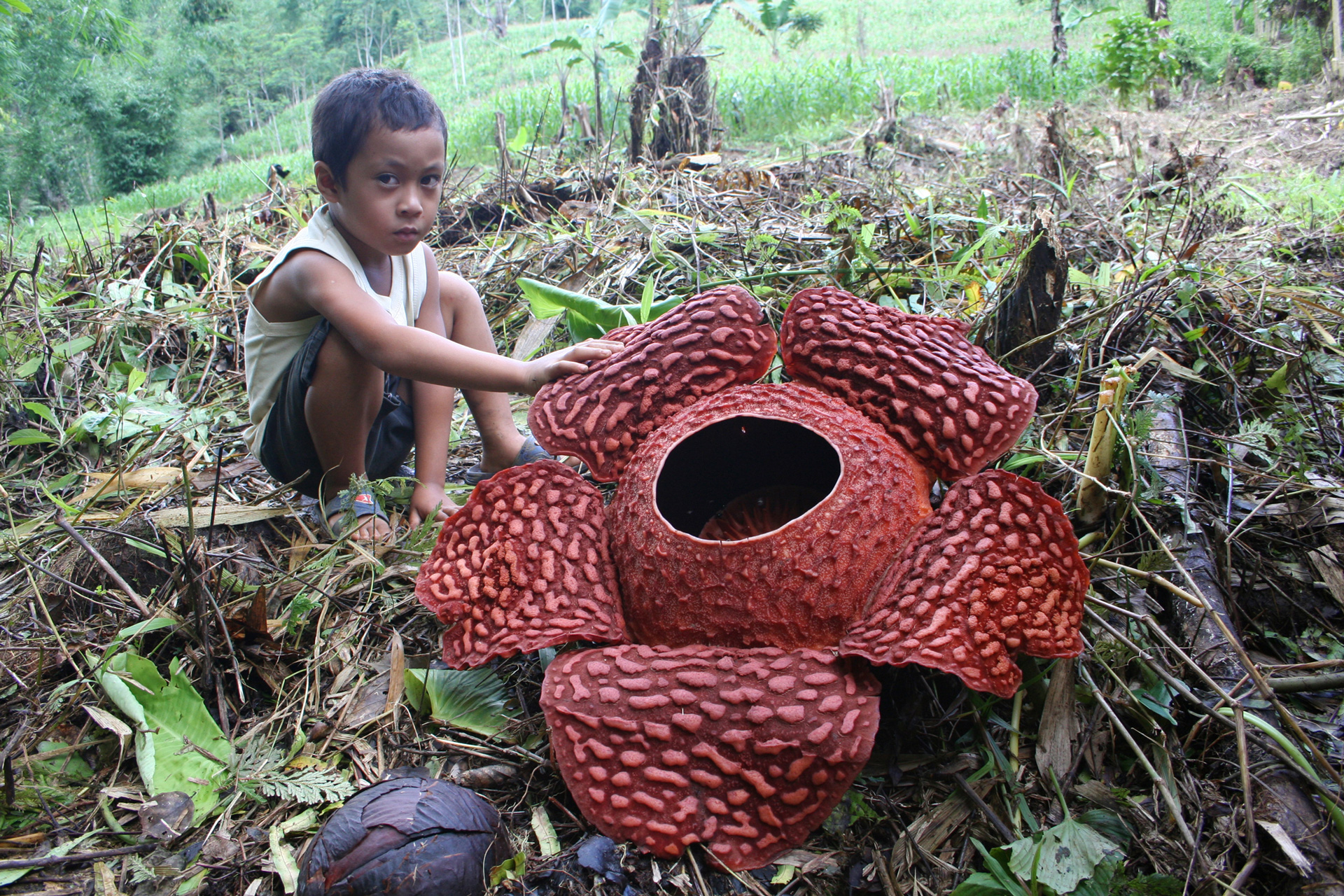 Flower of Rafflesia schadenbergiana, third largest flower in the World
