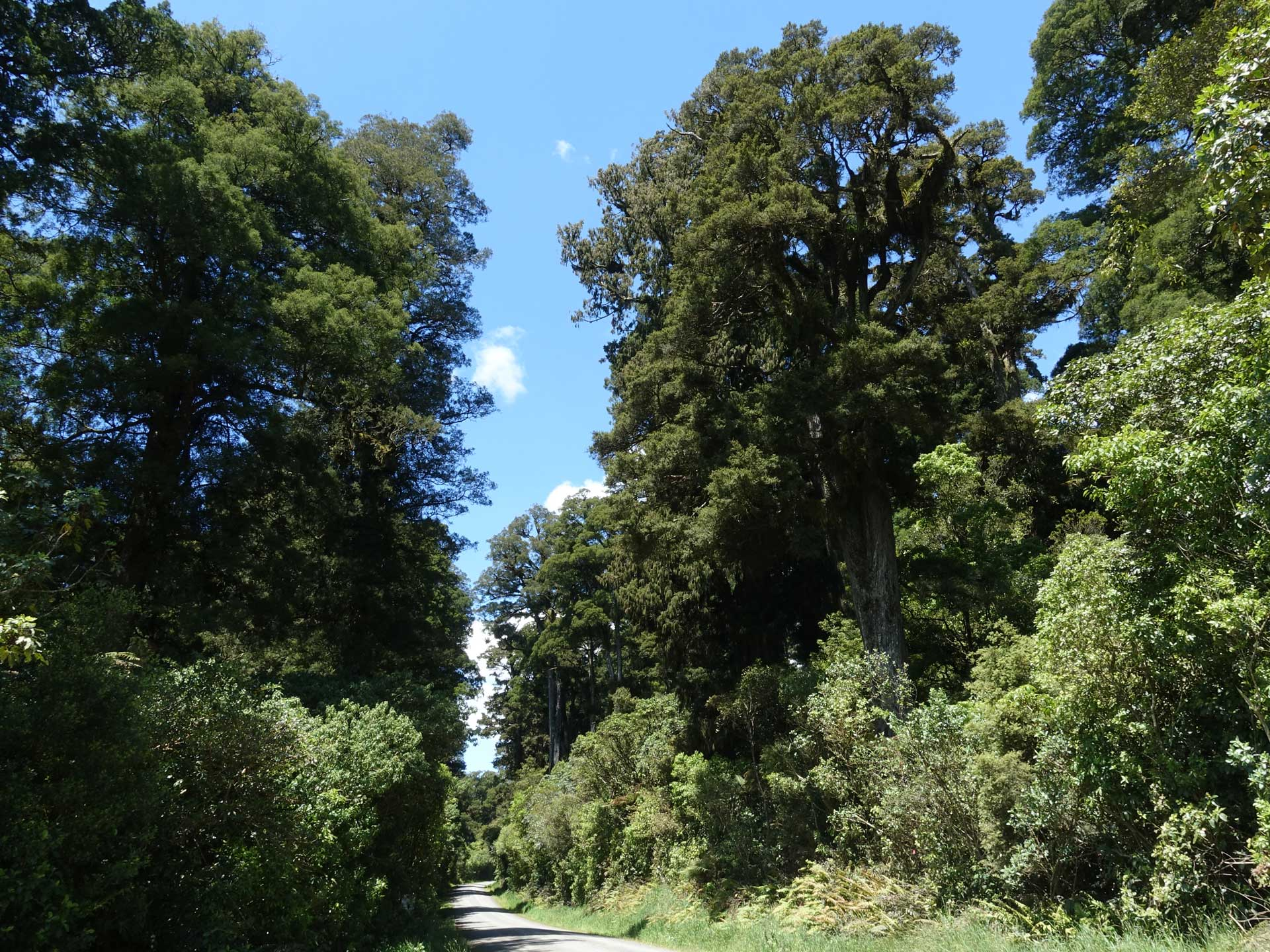 Mixed podocarp forest, Pureora