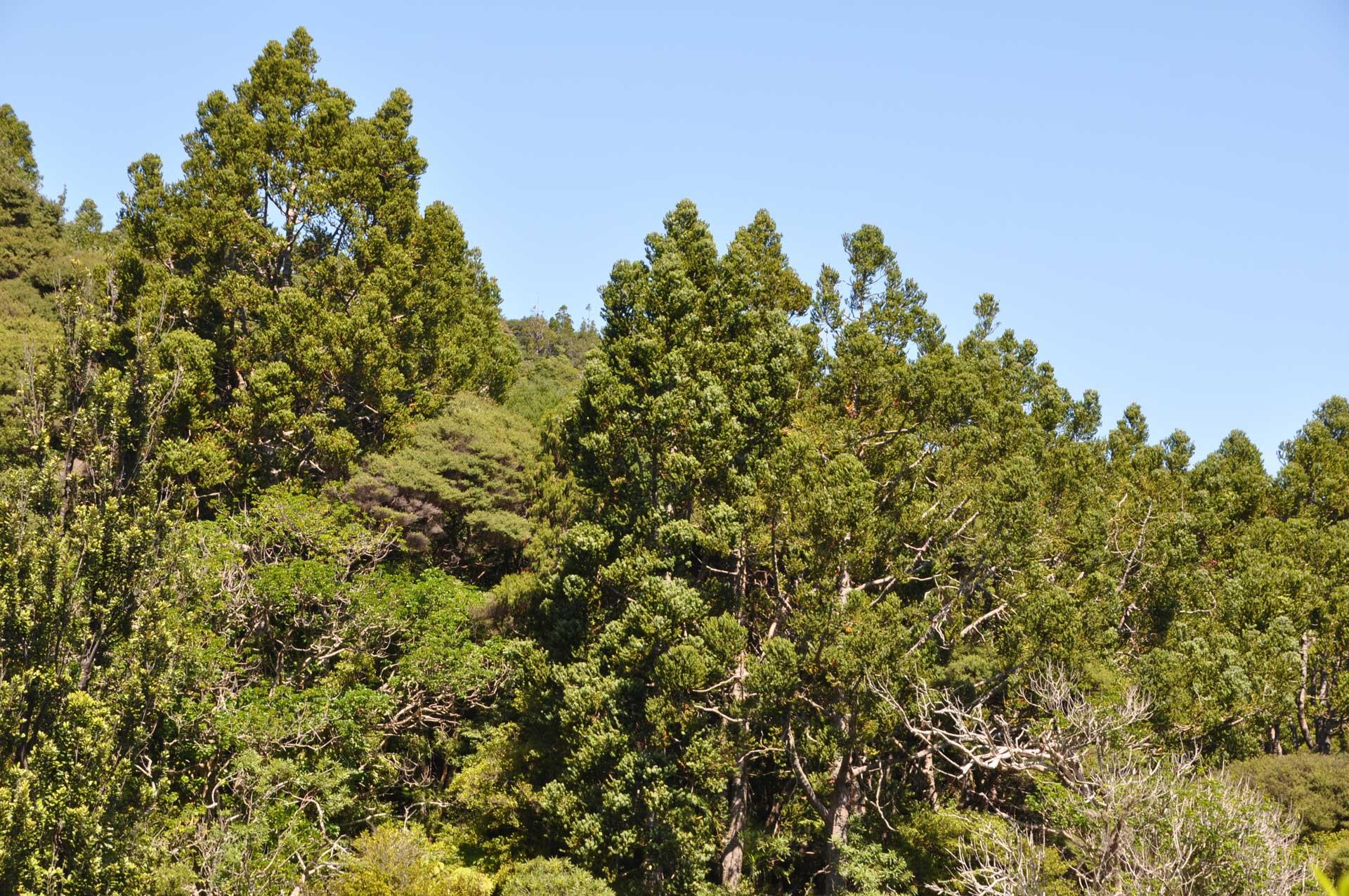 Kauri-podocarp forest, Waitakere Ranges.
