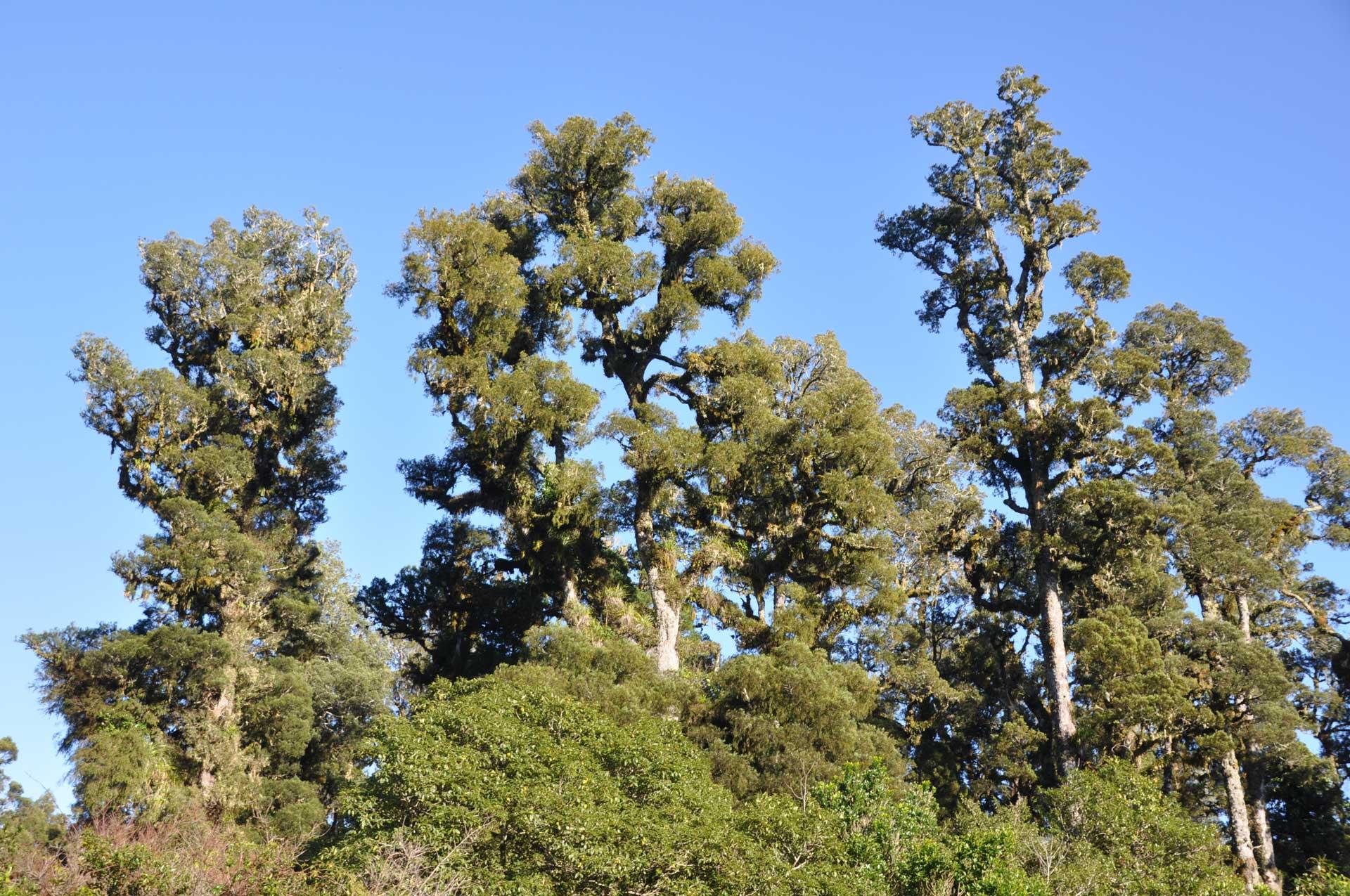 Kahikatea forest, South Westland.