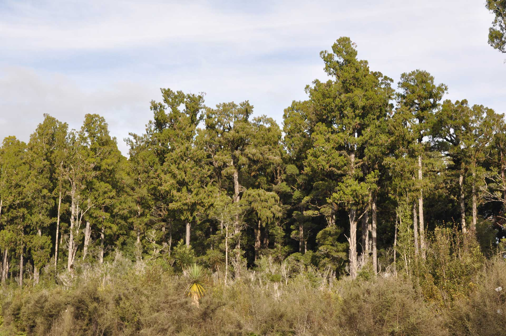 Dense rimu forest, South Westland.