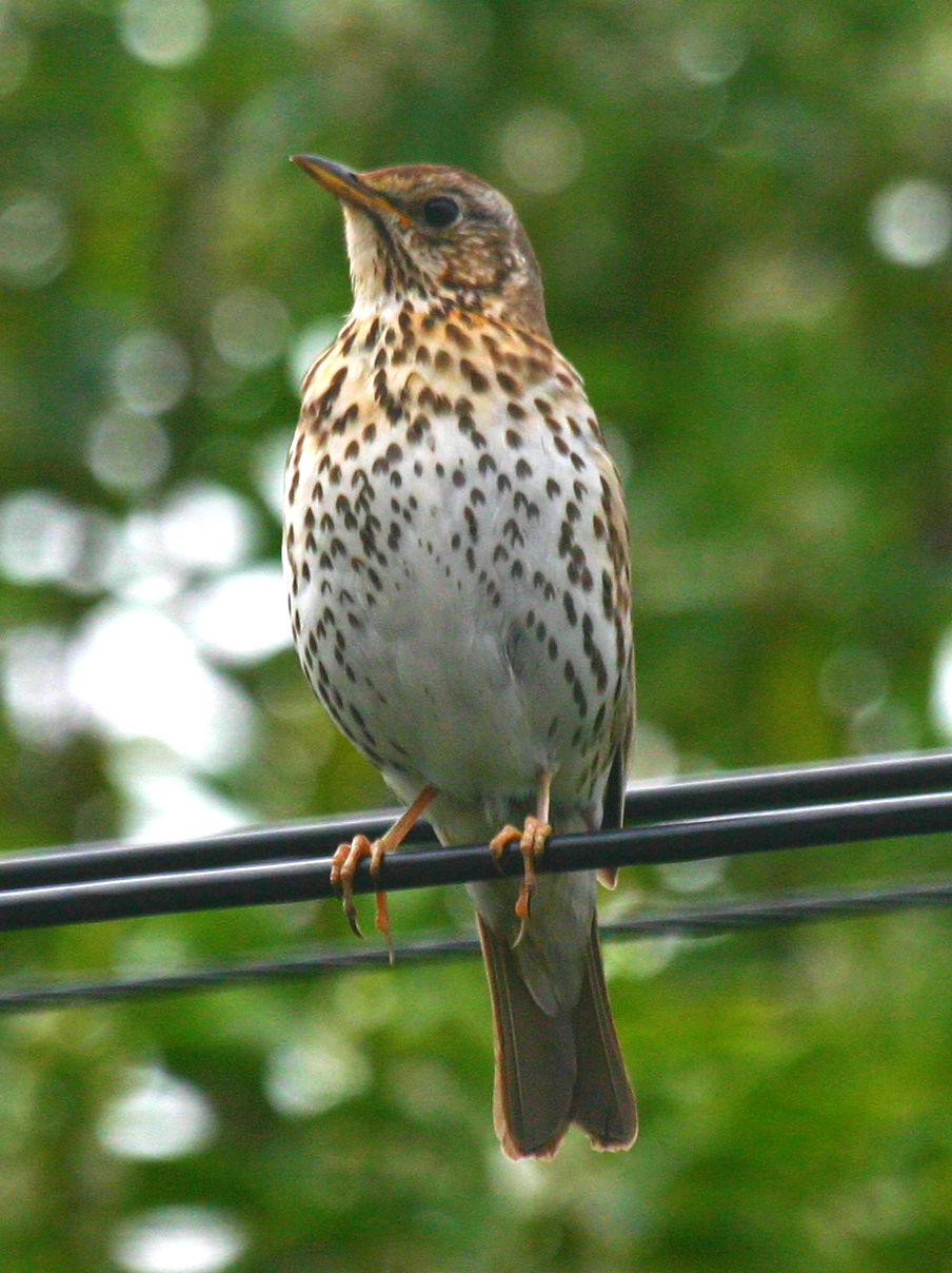 Song Thrush. Photo credit Jim Briskie.